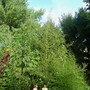 twin daughters standing under a 18 feet tall Amaranthus cannabinus plant (Amaranthus cannabinus)