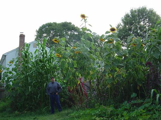 Row of R. Hope(UK) giant sunflowers (Helianthus annuus (Sunflower))