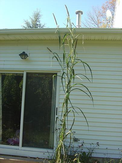 13 feet tall pearl millet - Pennisetum glaucum (Pennisetum glaucum)