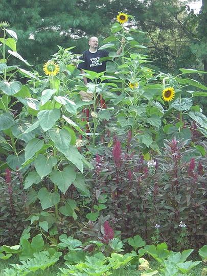 14+ feet tall Craven X Bott Sunflower (Helianthus annuus (Sunflower))