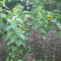 14+ feet tall Craven X Bott Sunflower (Helianthus annuus (Sunflower))