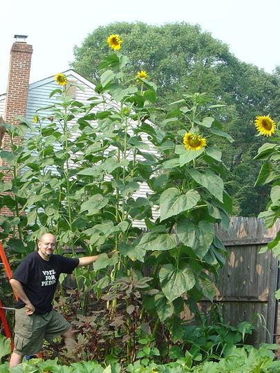 Row of Bott Strain Sunflowers (Helianthus annuus (Sunflower))