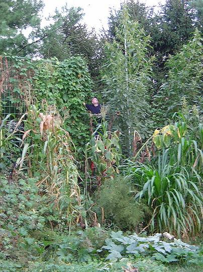 Giant amaranth plants (Amaranthus australis)