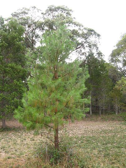 Pinus Patula at 7 years  (Pinus patula)