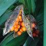 Iris foetidissima - seeds (Iris foetidissima)