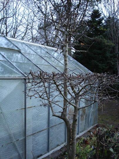 Hawthorn topiary (Crataegus monogyna)