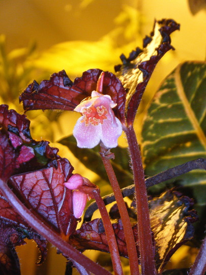 Begonia rex Bud and Blossom