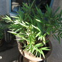 potted dwarf bamboo