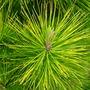 Pinus radiata 'Aurea'