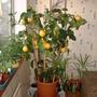 lemon, December 2006