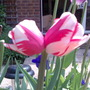 Double headed Tulip