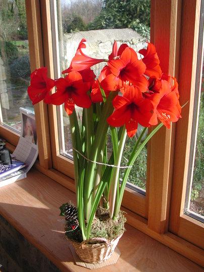 Amaryllis 'Christmas Carol' in full bloom. (Hippeastrum)