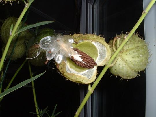 asclepia phsocarpus seed pod (asclepia phsocarpus)