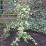 Ligustrum_lucidum_tricolour_planted
