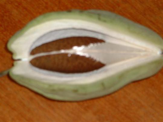 araujia seed pod