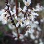 Abeliophyllum_blooms