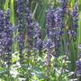 a plant simeler to lavender