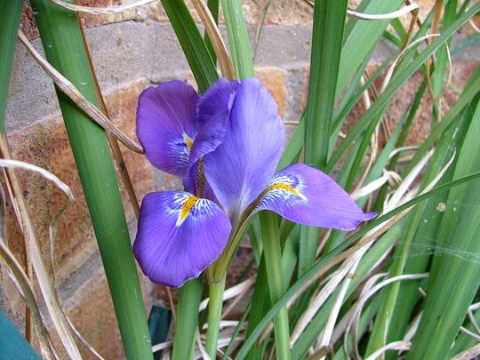 Iris unguicularis (Iris unguicularis)