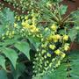 Leatherleaf Mahonia (Mahonia bealei (Leatherleaf Mahonia))