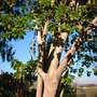 Phytolacca dioica - Ombu Tree (Phytolacca dioica - Ombu Tree)