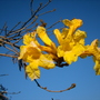 Tabebuia chrysotricha - Golden Trumpet Tree (Tabebuia chrysotricha - Golden Trumpet Tree)