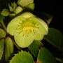 Corsican Hellebore - Christmas Day 2008 (Helleborus argutifolius)