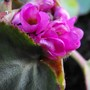 "Elephants Ears Flower ""Bergenia"" (Bergenia purpurascens (Elephant's ears))"