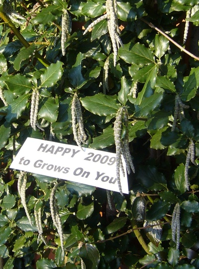 "HAPPY 2009 from my Garrya elliptica ""James Roof"""