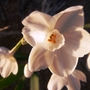 Closeup_of_narcissus_in_se_front_flowerbed