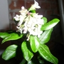 Escallonia_in_bloom_inside
