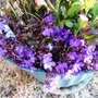 Lobelia_in_front_container