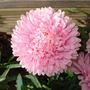 Double Dahlia Pink