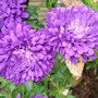 Double Dahlia Purple