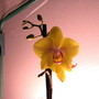 My new orchid...yellow!