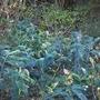 Hedychiums