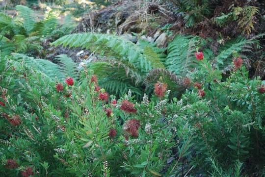Ferns and callistemons