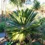 Cycad - Sago Palm