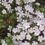 Phlox_from_woods_sm