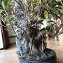 Ficus Retusa 2