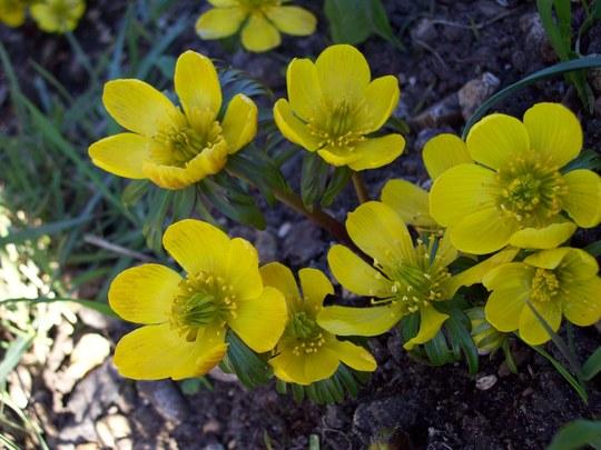 ACONITES...... (Eranthis hyemalis (Winter aconite))