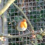 A robin visits at Christmas