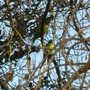 Parakeets spotted in Hanworth
