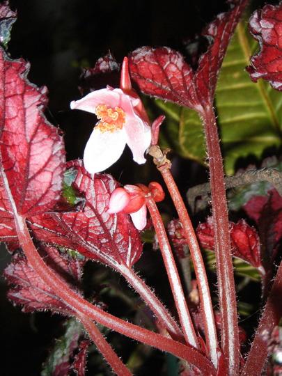 Begonia At Night