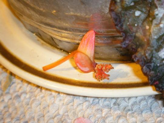 Begonia Rex Seed?