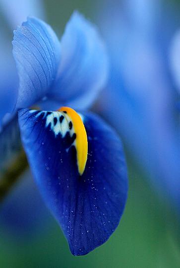 mini iris (Iris reticulata)