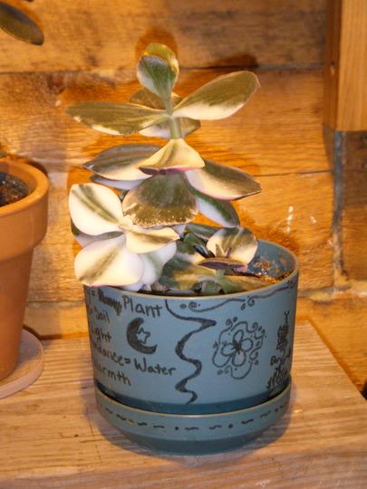 My Variegated Jade 09' (Crassula ovata (Jade tree) tricolor)