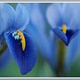 more mini iris's (Iris reticulata)
