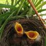 Robin_nest_044