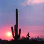 Saguaro Cactus (Carnegiea Gigantea) at Sunset