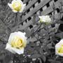 miniture yellow rose